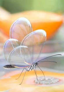 beautiful-transparent-butterfly-photo.jpg