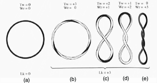 representation-of-a-supercoiled-plasmid-where-lk-is-partitioned-in-different-ways-the.png