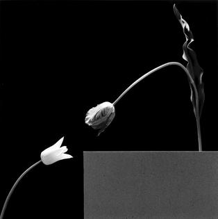 Robert Mapplethorpe, Two Tulips, 1984.