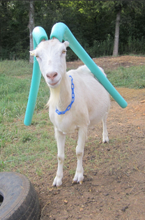 goat w pool noodles