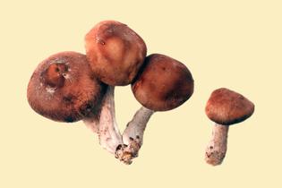 shiitake-mushrooms-050418.jpg