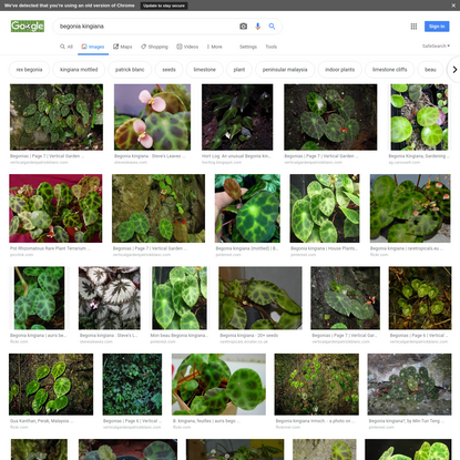 begonia kingiana - Google Search