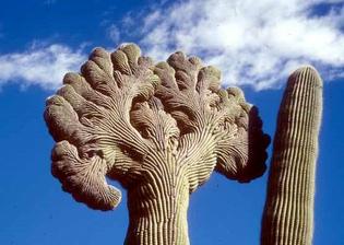 Crested Saguaros
