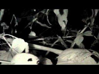 Pi NoIR infrared time-lapse: bramble bush