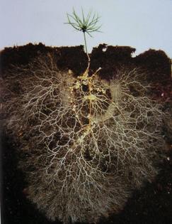mycorrhizae-roots.jpg