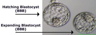 Hatching-Blastocyst-BBB.jpg