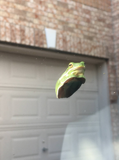 Frog and windshield 1