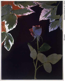 Sonia Landy Sheridan, Flowers, Lab 212S (Rose II, Red Backlight), 1976, 3-M Color-in-color process print