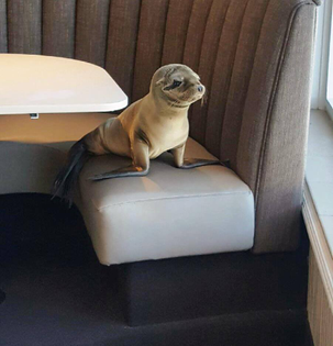 Sickly sea lion pup found sleeping in booth inside La Jolla restaurant