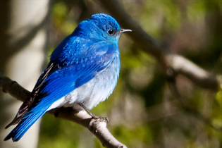 mt-bluebird.jpg