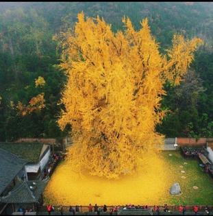 1400 year old ginko FUCK