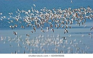 flock-arctic-terns-flight-260nw-604949006.jpg