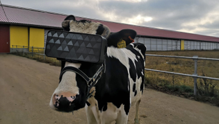 cows wearing VR headsets