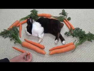 Waking a sleeping rabbit by surrounding him with carrots