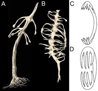 chondrocladia-chondrocladia-concrescens-a-b-facsimile-from-schmidt-1880-pl-x.png