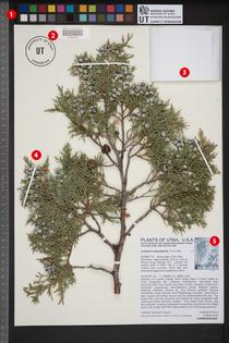 juniperherbariumsheet-withnumbers.jpg