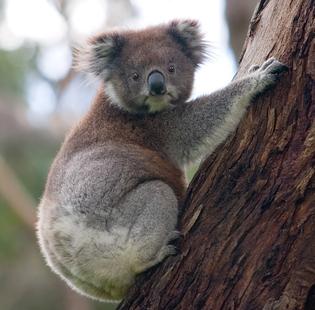 koala_climbing_tree.jpg