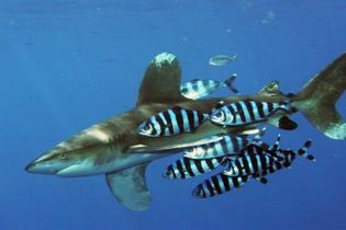 Carcharhinus_longimanus_1.jpg