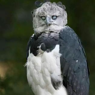 large-bird-harpy-eagle-5d9311c03cf6f__700.jpg