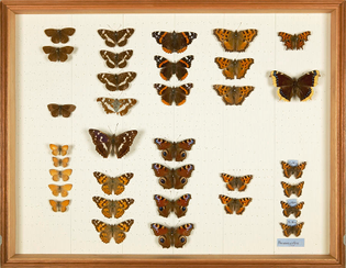 4-wallace-collection-butterfly-specimens-natural-history-museum-londonscience-photo-library.jpg