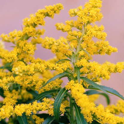 """Plant communication in a widespread goldenrod: keeping herbivores on the move"""