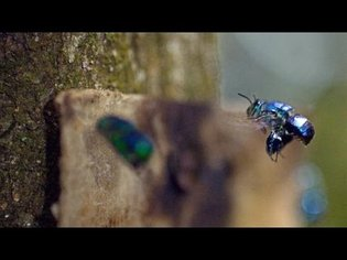Male Orchid Bees Mix Their Own Cologne Carefully