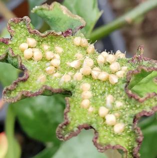 dorstenia-contrajerva-steves-leaves.png