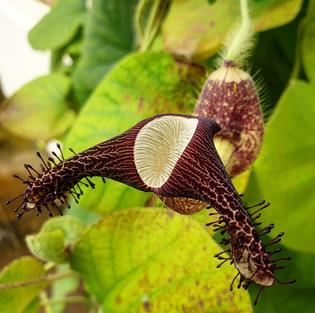 aristolochia-ridicula.png