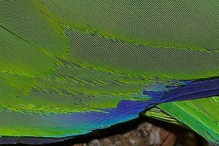 Moire_on_parrot_feathers.jpg