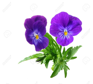 4281734-pansie-flowers-isolated-on-white-background.jpg