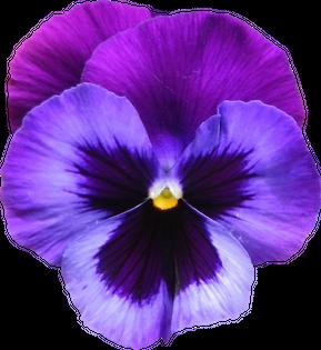 png-violets-flowers-large-transparent-purple-violet-flower-png-clipart-png-940-1023-violet-flower-940.png