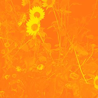 sunflower09.jpg