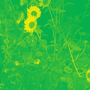 sunflower10.jpg
