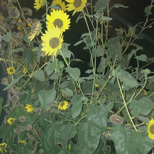 sunflower18.jpg