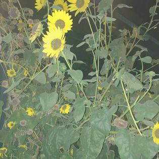sunflower19.jpg
