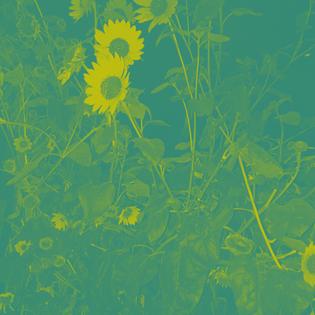 sunflower15.jpg