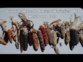 Growing Rare & Ancient Varieties of Heirloom Corn. Pawnee Eagle Corn