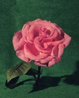 7-2017-pink-flower-archival-pigment-print-2000x.jpg