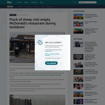 Flock of sheep visit empty McDonald's restaurant during lockdown