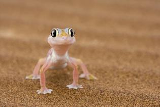gecko-on-sand.jpg.1440x960_q100_crop-scale_upscale.jpg