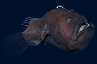 Black devil fish