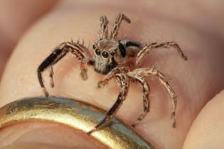plexippus_petersi_-jumping_spider-_on_a_human_finger_at_golden_hour.jpg