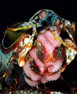 mantis-shrimp-16.jpg
