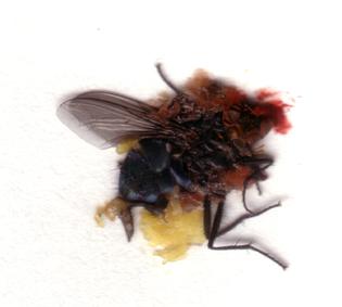 deadfly.jpg