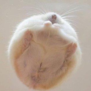 Snowball Hamster ❄️ Dm for credit