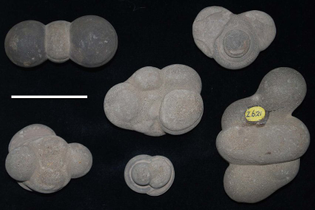 specimens-of-fairy-stones-calcareous-concretions-from-the-fairy-dean-near-galashiels.jpg