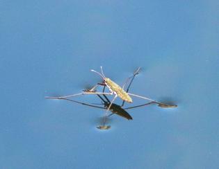 123-water-strider.jpg