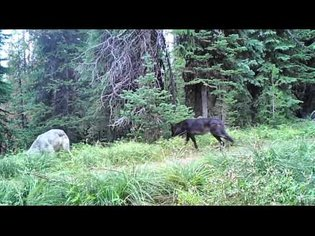 Wolves, Bears, Coyotes Trailcam Video Sept  2015
