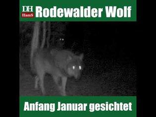Wolfsmonitoring: Video vom Rodewalder Wolf - Januar 2019