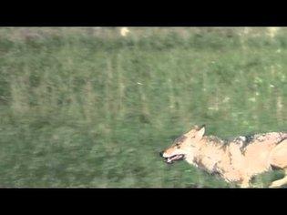 Sensationelles Video von einem streunenden Wolf in Sachsen-Anhalt